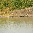 Kilpikonnia Keoladeo National Parkissa