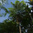 Saniaispuu Penang Hill