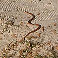 Käärme hiekalla Tarutao