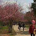 Orient Cherry Park, Kunming