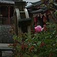 Ruusunkukka, Lijiang