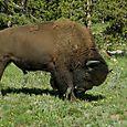 Biisoni tienvieressä, Yellowstone