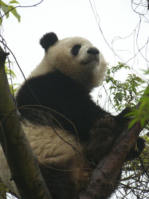 Panda puussa, Chengdu