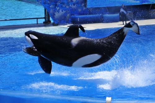 Miekkavalas Show, SeaWorld