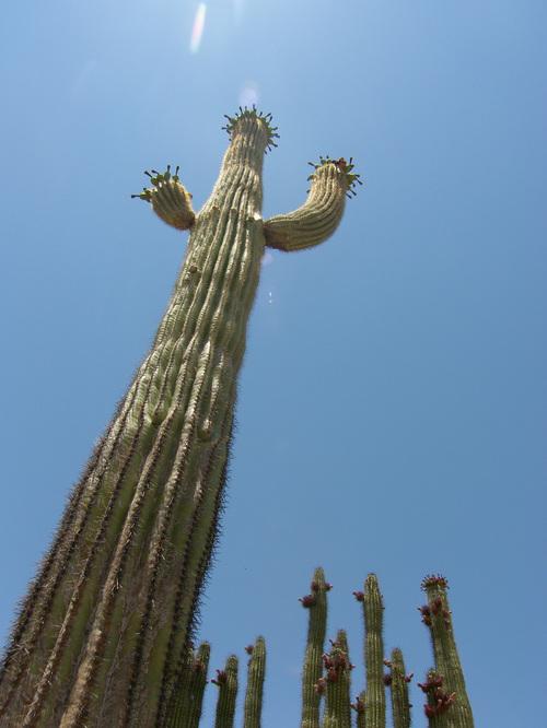 Organ pipe cactus, Ajo, AZ