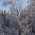 Talvinen puu / Sarvivuori Jyväskylä