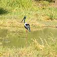 Black Necked Stork Keoladeo National Park
