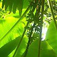 Banaanipuu