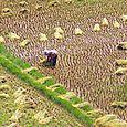 Riisinkorjuuta Tana Toraja