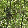 Veikeä apina Tarutao