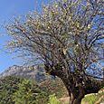 Wild pear Tree, Lige