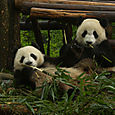 Hei me syödään, pandat, Chengdu