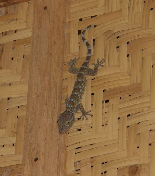 The Tokay Gecko
