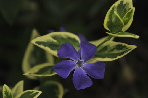 Kaunis kukka