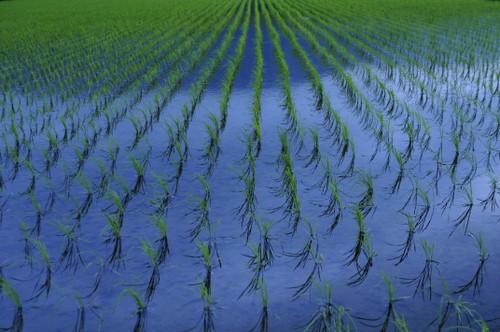 Riisipeltoa