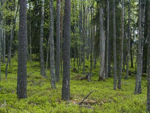 Kaunista metsää